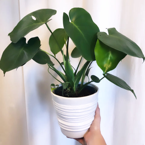 Mini Monstera w/ Spindel Pottery (PreOrder) ETA 3/26/20
