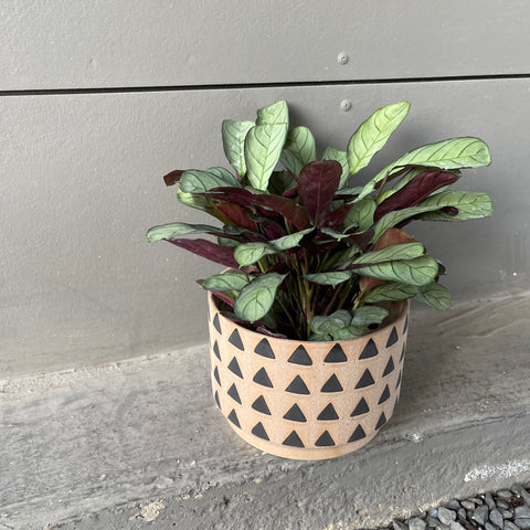 Mint Ctanthe in Circus Planter