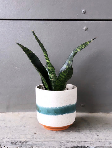 Sanseveria in Mateo planter
