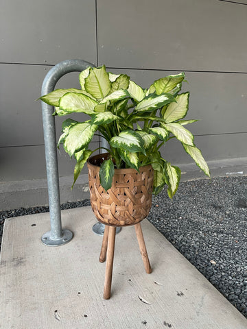 Diffenbachia in Basket Plant Stand