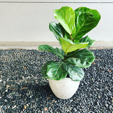 Fiddle Leaf Fig in Sea Grass Basket