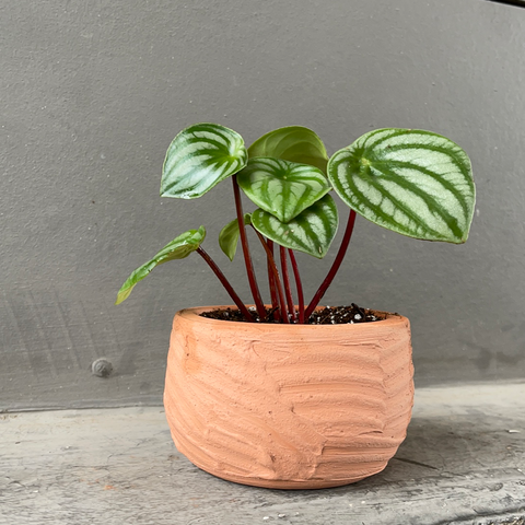Watermelon Peperomia in Strokes Plant Vessel