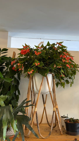 Polka Dot Begonia in Rattan Plant Stand