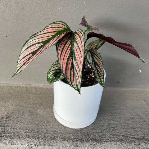 Calathea White Star in Lenoir Planter