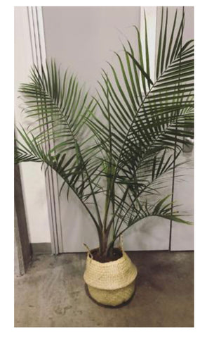 3-5 ft palm