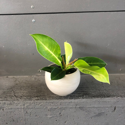 Philodendron Congo in Marbled Planter