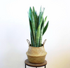 Snake Plant in Sea Grass