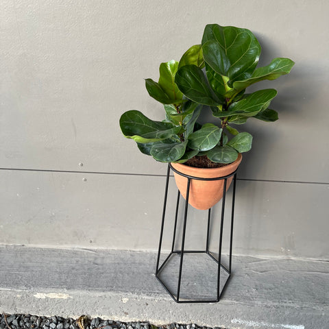 Fiddle Leaf Fig in Tara Bee Plant Stand