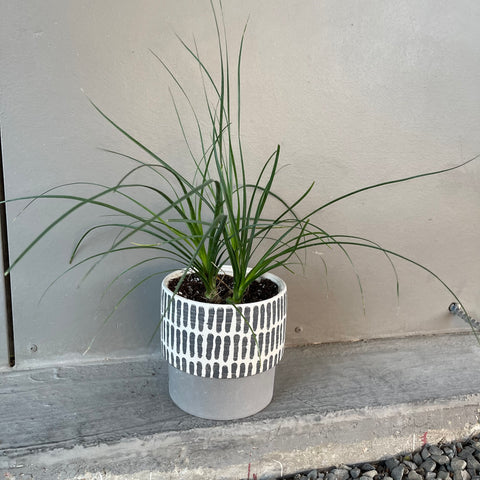 Ponytail Palm in Crete Planter
