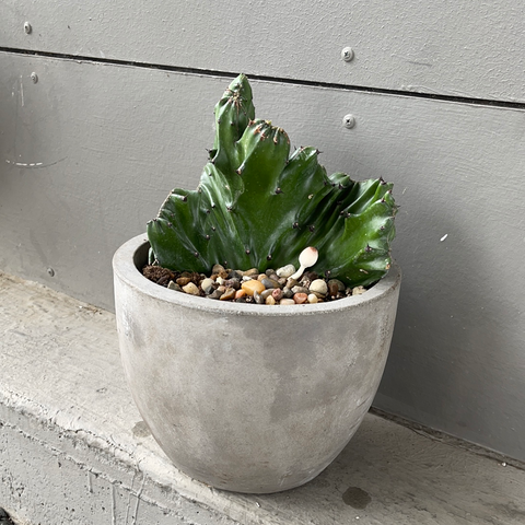 Crested Cactus in Basic Planter