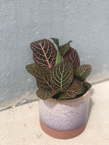 Nerve Plant in Himalayan Planter