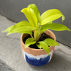 Lemon Lime Philodendron in