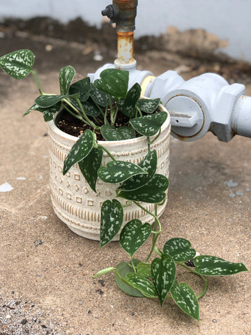 Silver Pothos in Shapes Planter