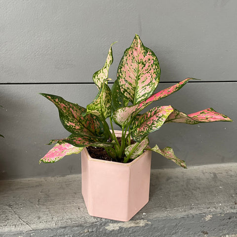 Chinese Pink in Madre Planter