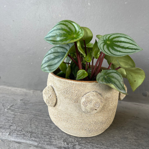 Watermelon 🍉 Peperomia in Blookat Planter