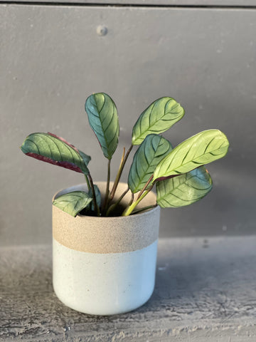 Calathea sp. in Clearly Planter