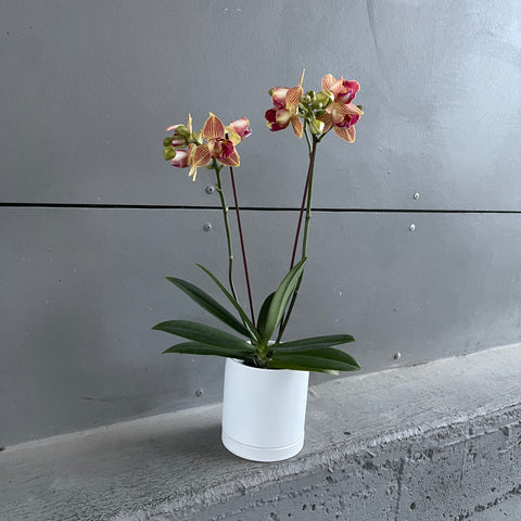 Sunset Orchid in Lenor Planter