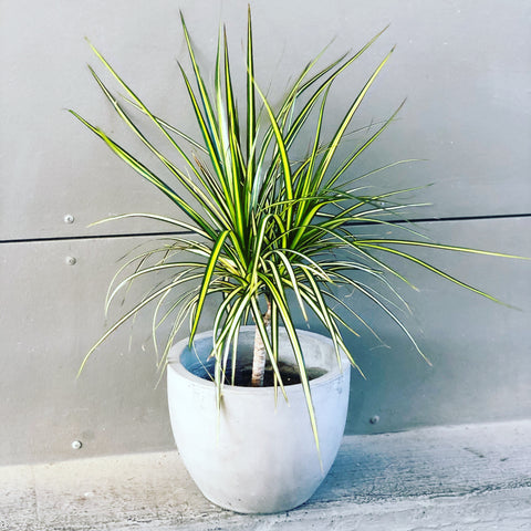 Rare Dragon Tree Var. in Cement Planter
