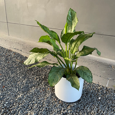 Chinese Evergreen in Matte Planter