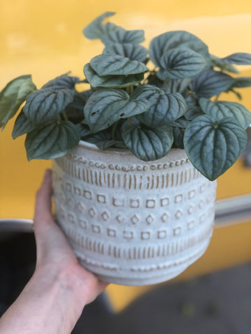Mint Ripple Peperomia in Shapes Planter