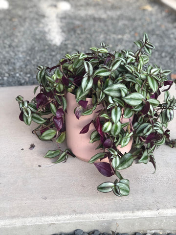 Tradescantia in Pink Ceramic