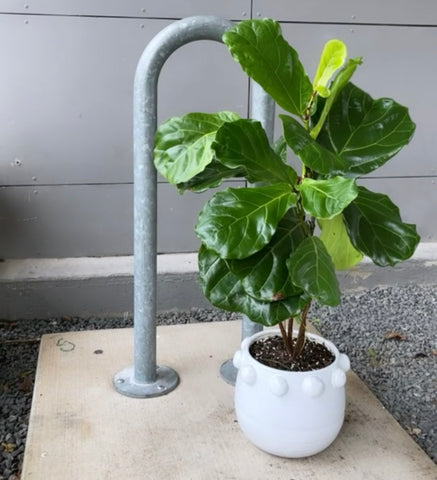 Fiddle Leaf in Luisa Planter