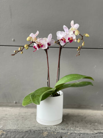 Orchid in Lenior Planter