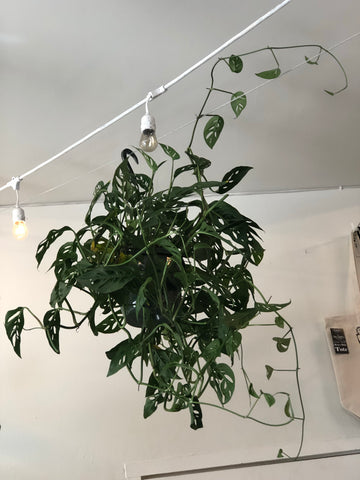 Hanging Swiss Cheese Vine (extra long vine)