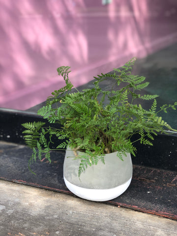 Rabbit Foot Fern Planter