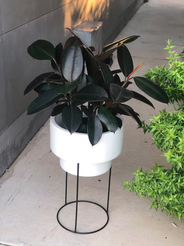 Rubber Tree in Soco Plant Stand