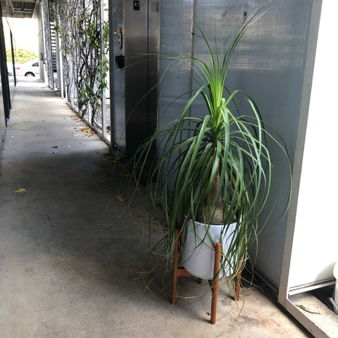 Ponytail Palm in Plant Stand