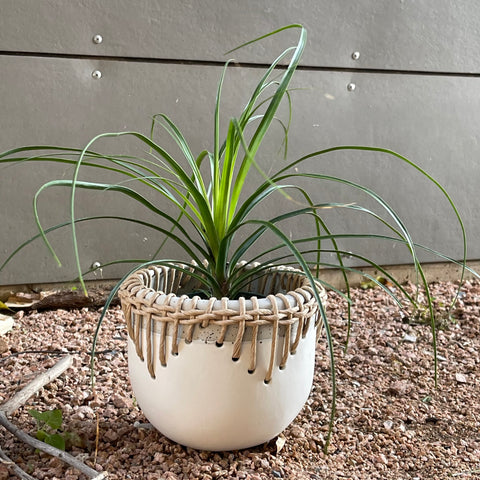 CPonytail Palm in Tribe Planter
