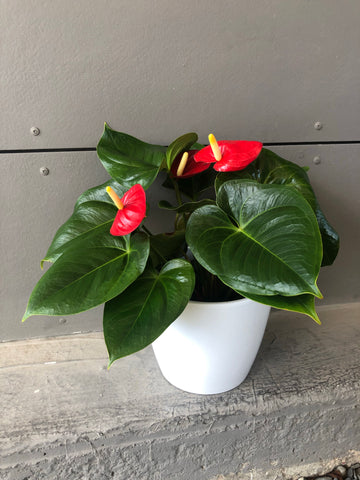 Red Anthurium in White Planter