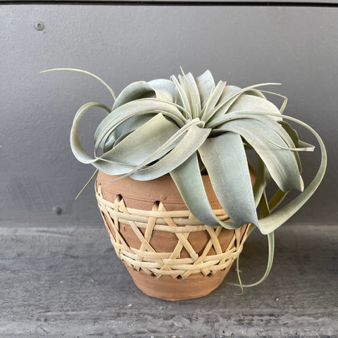 Tilly Xero in Rattan Terra-cotta Planter