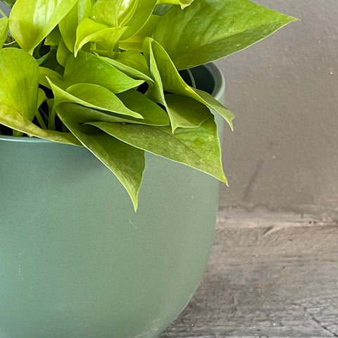 Neon Pothos in Jade Planter