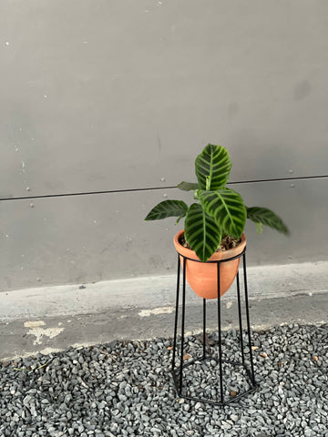 Calathea in Terra-bee Plant Stand