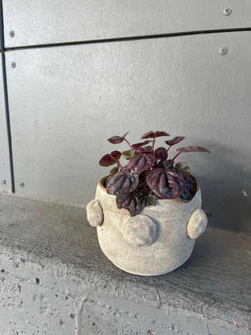 Purple Peperomia in Blookat Planter