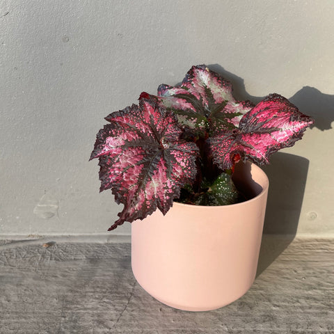 Rex Begonia in Rose Otto Planter