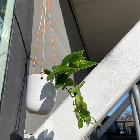 Red Lipstick Plant in Hahn Hanging Planter