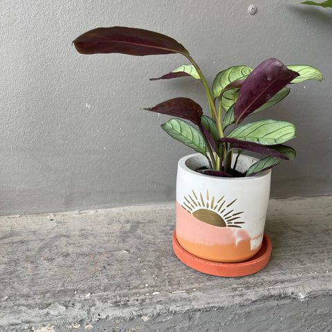 Calathea Setosa in Sunset Planter