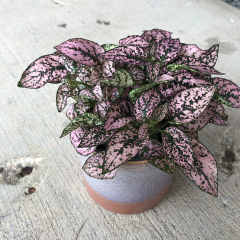 Pink Splash in the Himalayan Planter