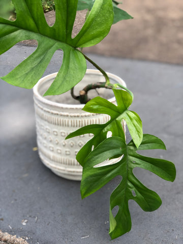 Raphidiphora in Shapes Planter