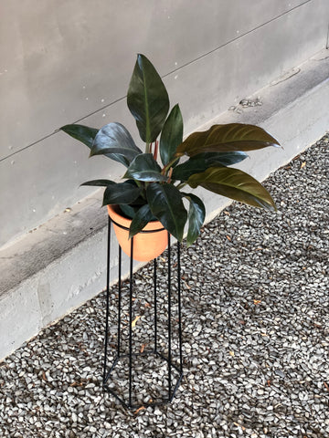 Philodendron Midnight in Terra Bee Stand