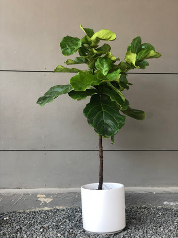 Fiddle Leaf Fig Tree in Matte White Planter