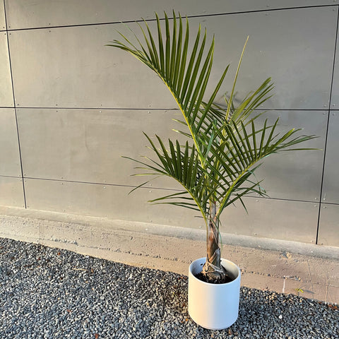 Palm in Matte White Planter