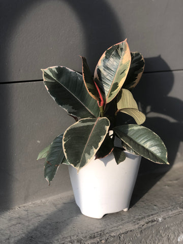 Tineke Rubber Tree