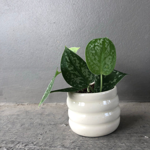 The Mallow Planter w/ Silver Pothos