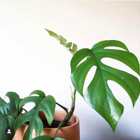 Mini Monstera in Rust Planter