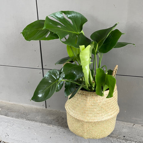 Monstera in Sea Grass Basket