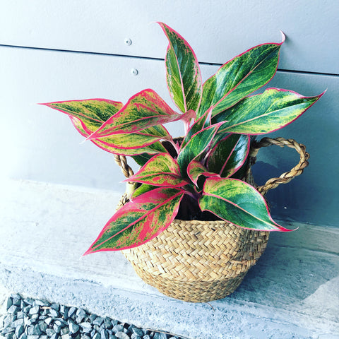 Pink Aglaonema in Sea Grass Basket